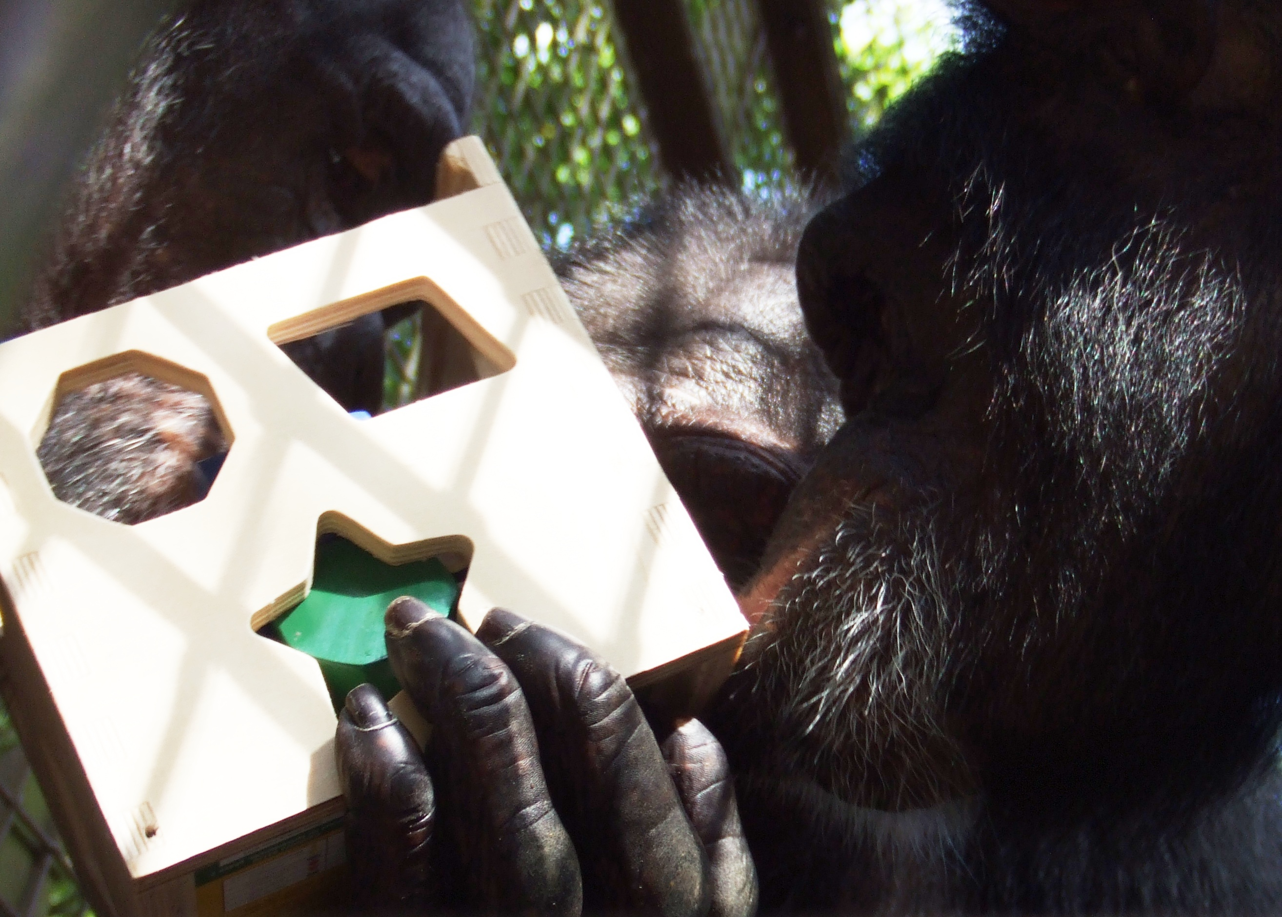 Image result for chimpanzee solving puzzle