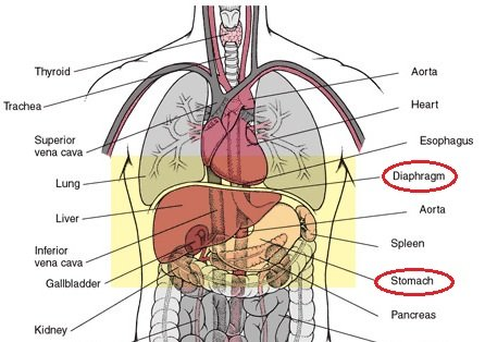 thor-abdom-cavity1