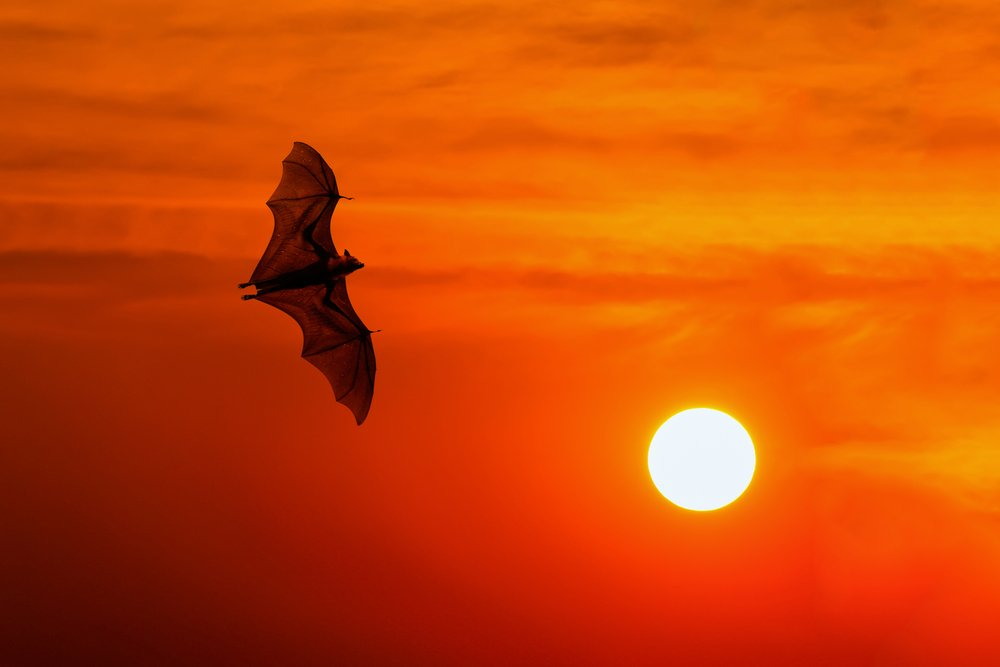 Bats flying at sunset bat