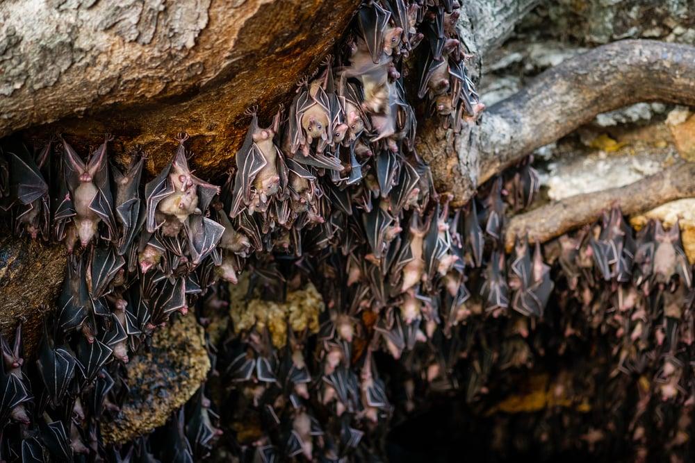 Fruits bats at Monfort bat cave(MilletStudio)s