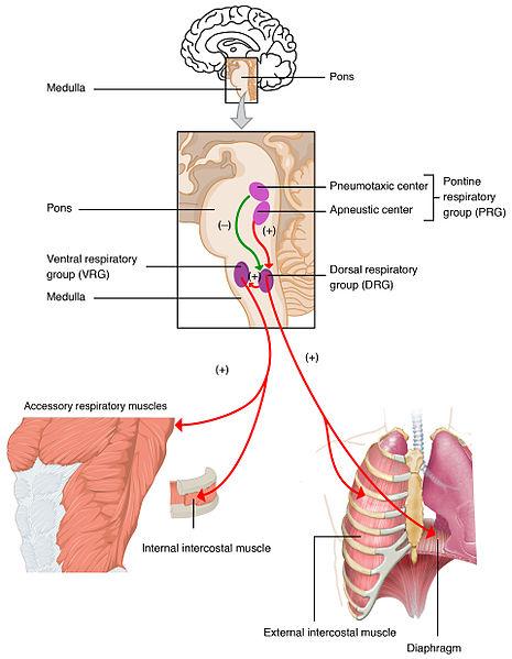 respiratory centers of brain