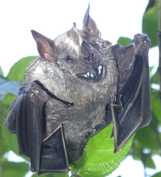 Bats belonging to the genus Thyroptera, about 5 of them, have specialized suction cups under wrists and ankles to stick to smooth surfaces. They don't hang upside down.