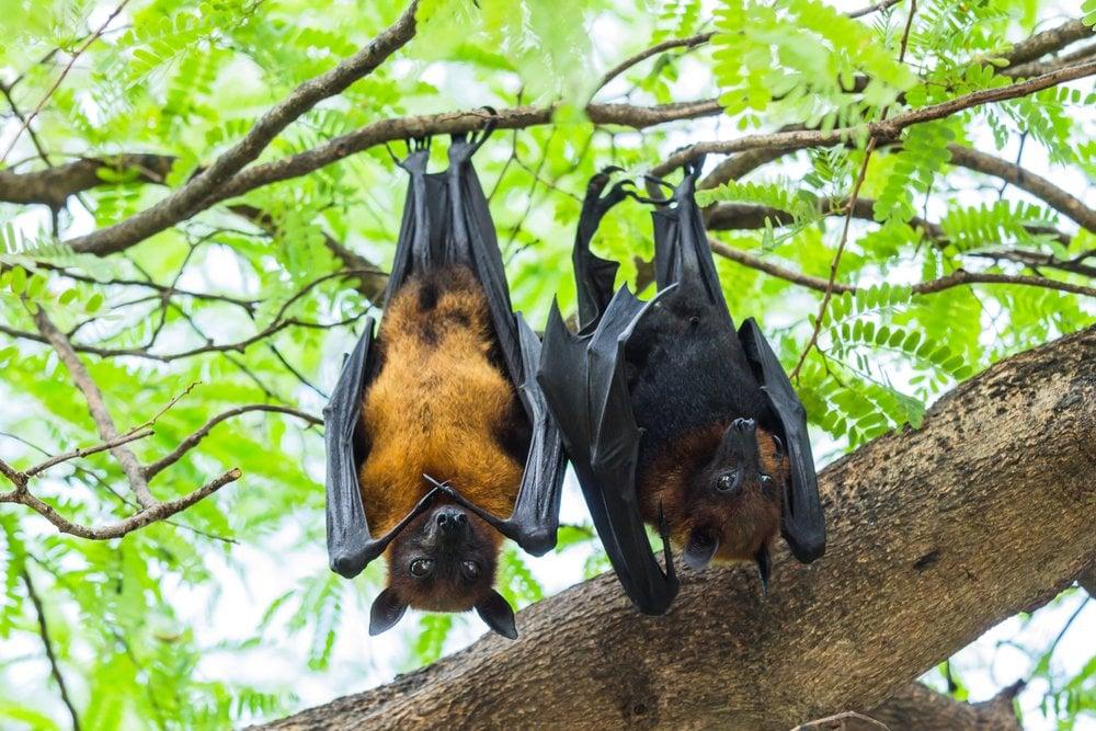 bat sleeping