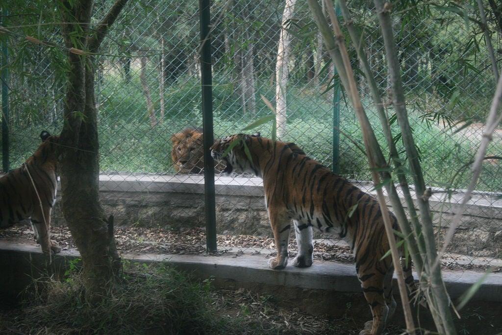 León asiático y tigre de Bengala en el Parque Nacional de Bannerghatta, India