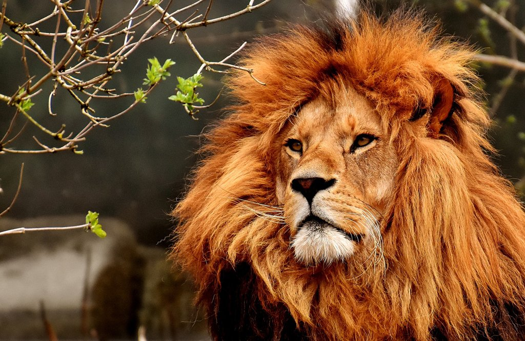 Lion with a beautiful thick mane