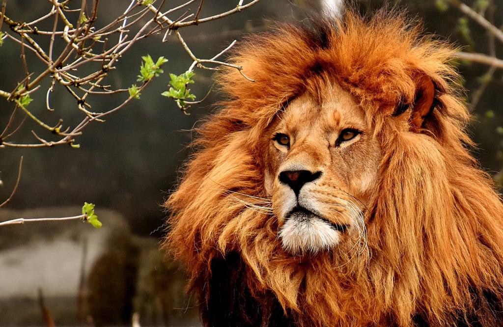 León con una hermosa y espesa melena