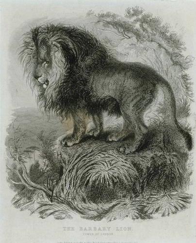 El león de Berbería