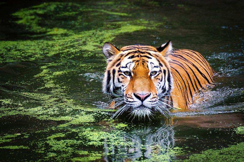 Los tigres son excelentes nadadores
