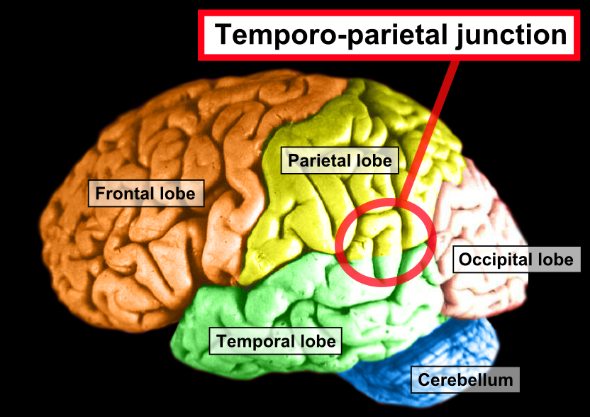 Brain_-_Lobes_-_Temporoparietal_junction