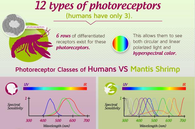 Mantis+shrimp+photoreceptors