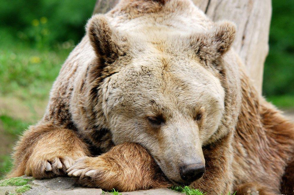 Silvertip Bear
