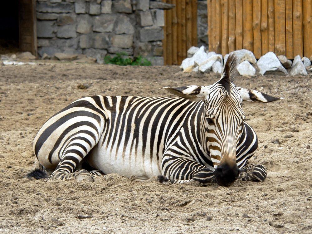 Zebra Lying
