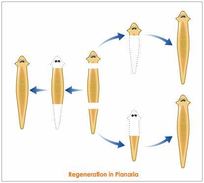 planaria-regeneration