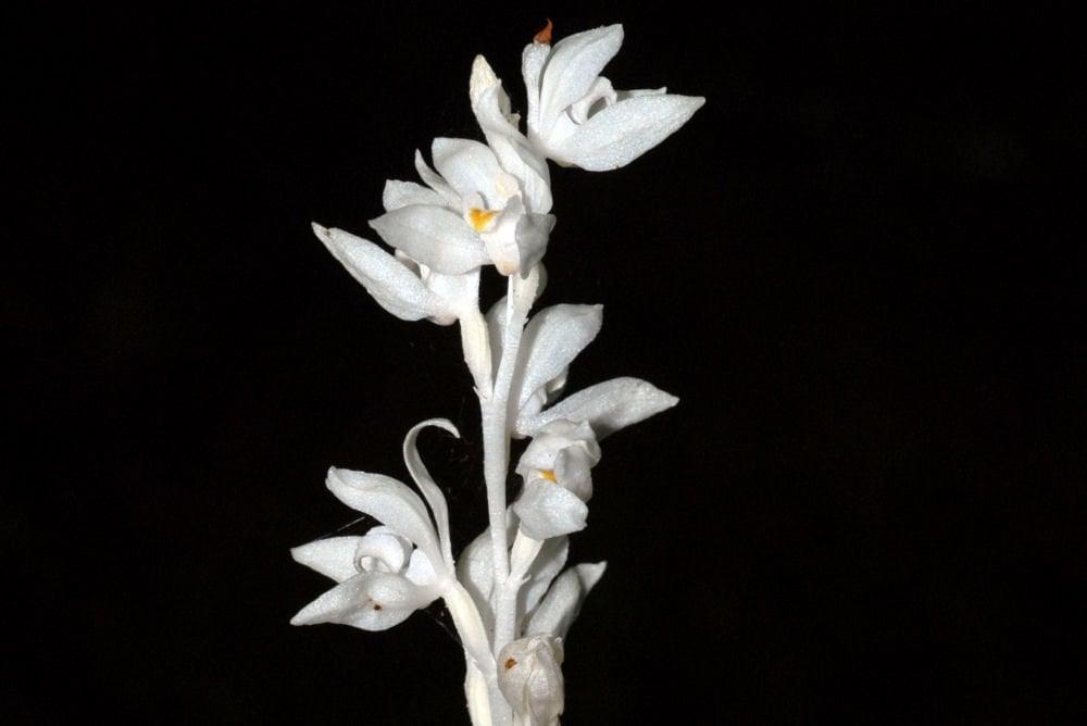 plant-Orchid-Phantom-bloom-big