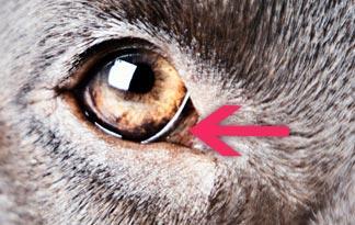 third eyelid