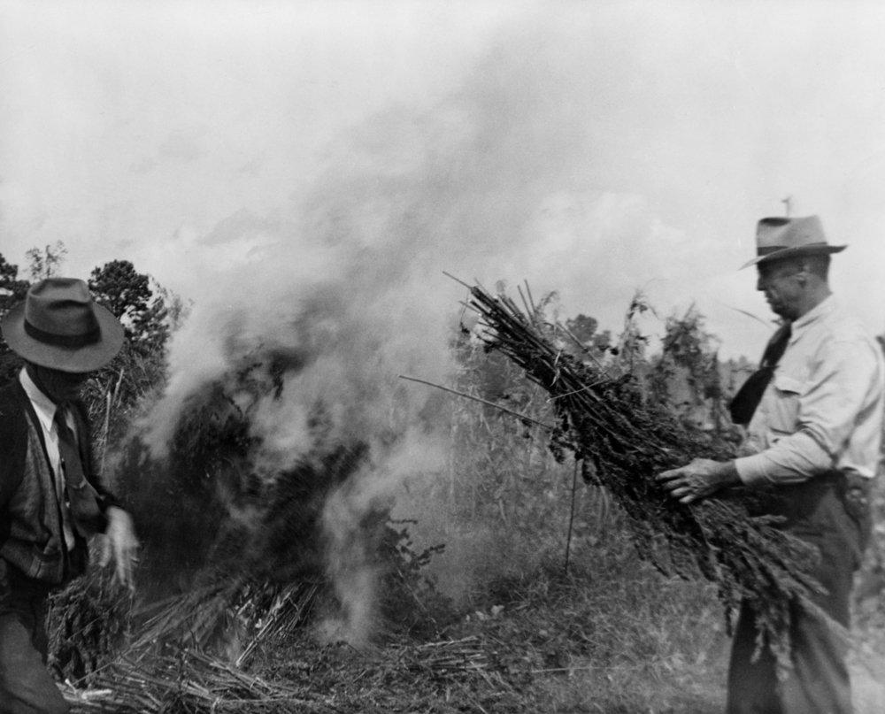A Burning Marijuana Field