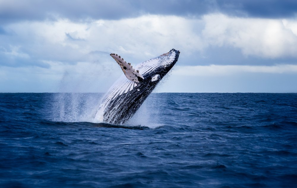 Humpback whale jumping out of the water in Australia(Nico Faramaz)s