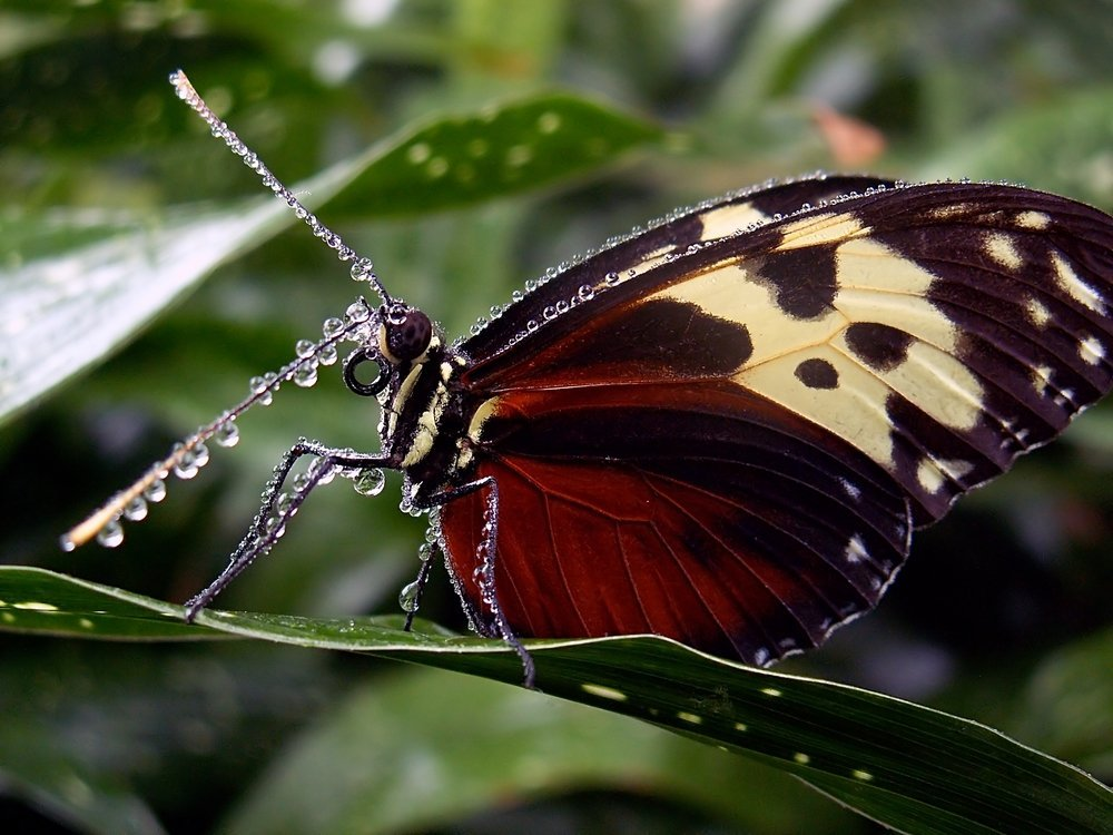 Credit: Naturespixel A butterfly standing on a leaf.