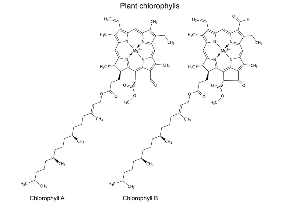 Structural chemical formulas of plant pigments chlorophylls, 2d illustration, vector, isolated on white background