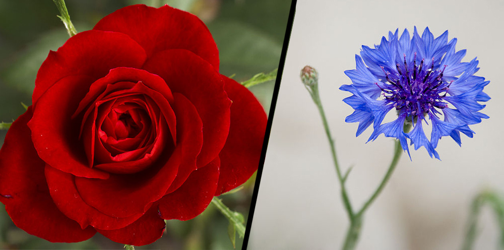 rose and Cornflower Blue