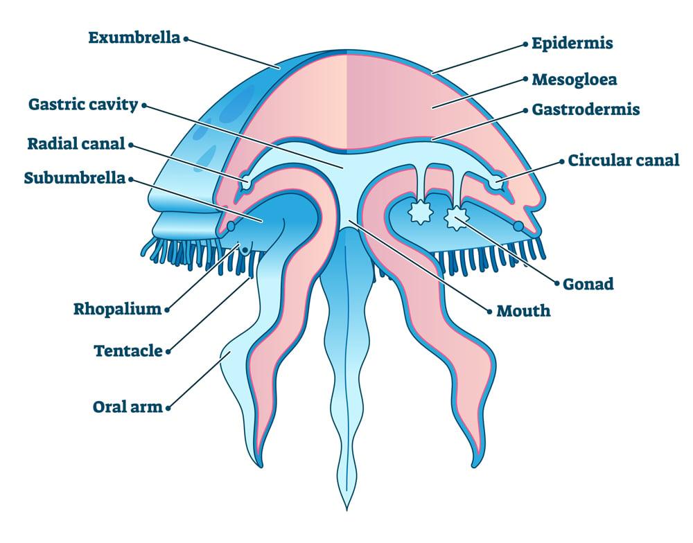 Jellyfish educational diagram vector illustration, marine underwater life exploration(VectorMine)s