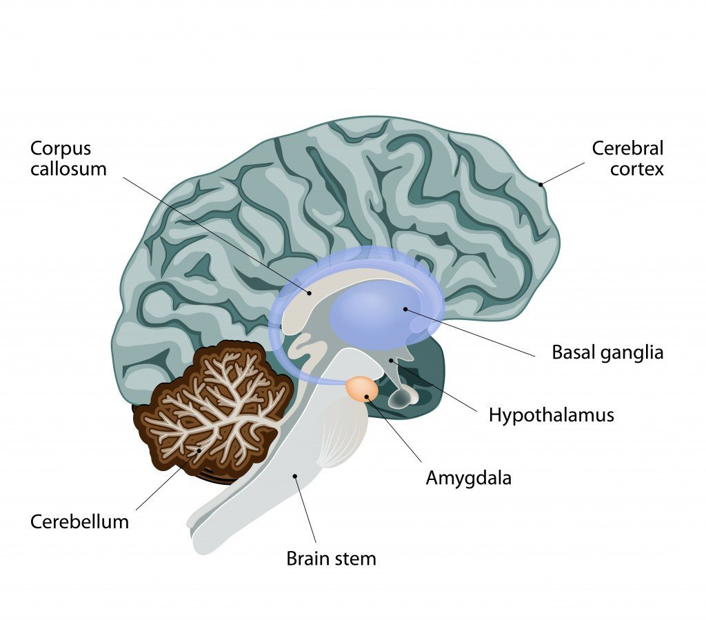 amygdala in the human brain