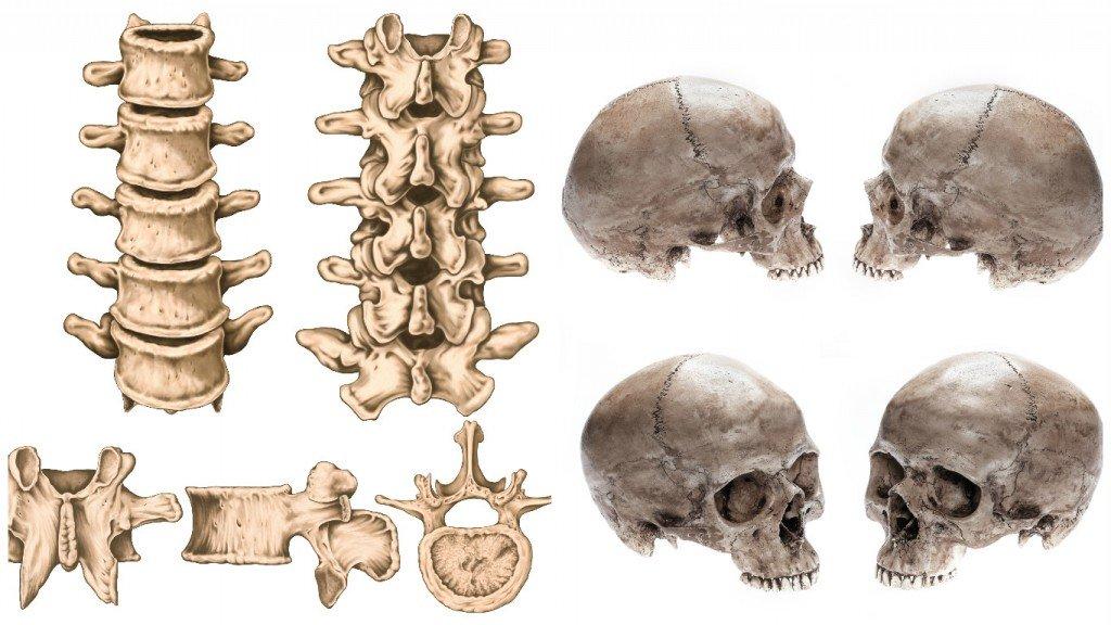 Vertebrae Skull bones
