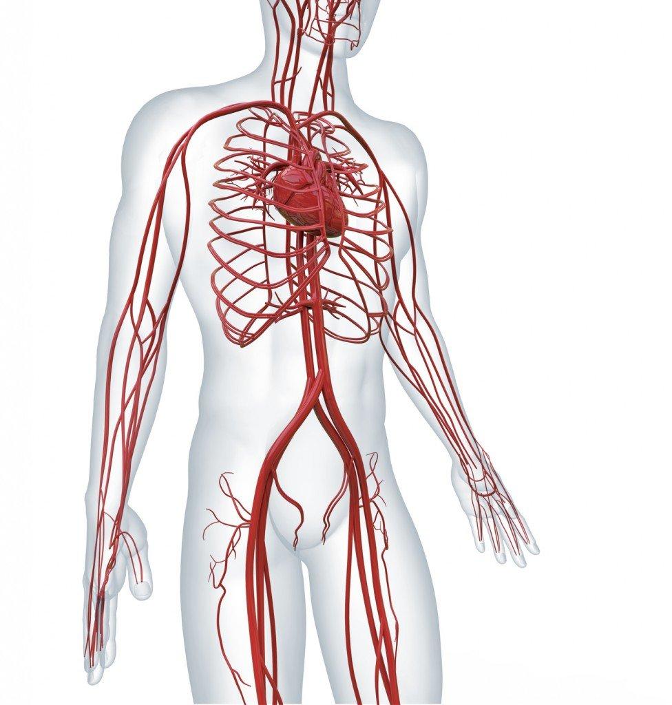 Human Vascular System (Photo Credit: adimas / Fotolia)