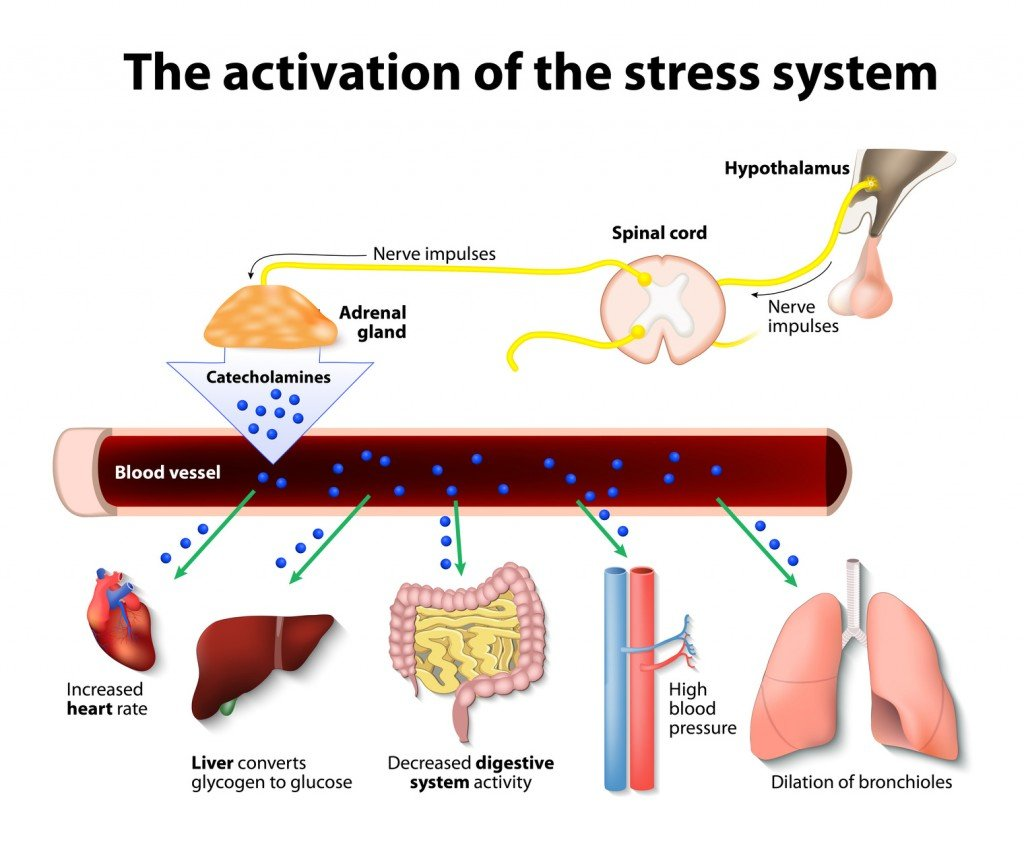 Basic Stress Hormone Release Diagram (Photo Credit: designua / Fotolia)