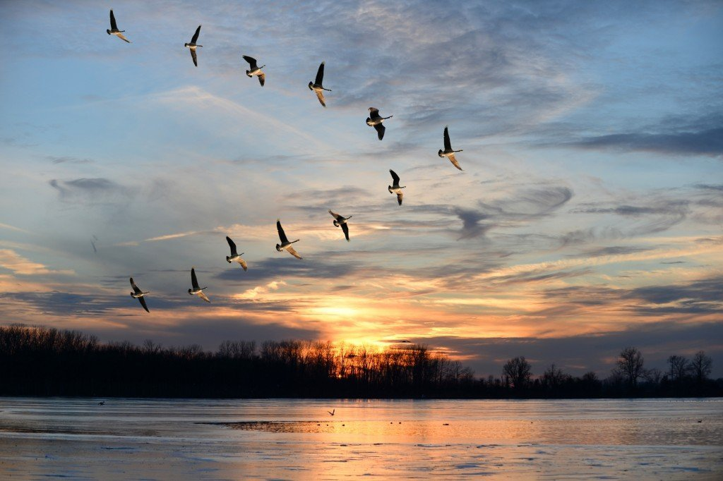 Canadian Geese Migrating (Photo Credit: Gino Santa Maria / Fotolia)