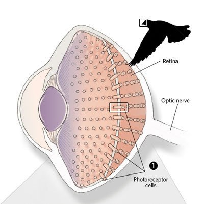 Simple Avian Eye Diagram (Photo Credit: www.the-scientist.com)
