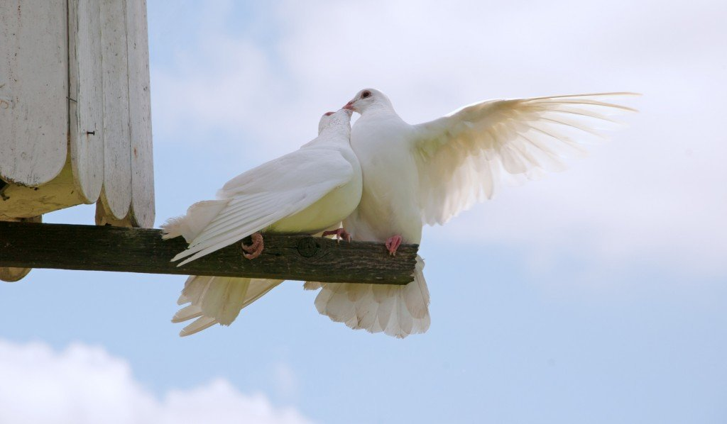 Some doves should just get a room... (Photo Credit: chelle129 / Fotolia)