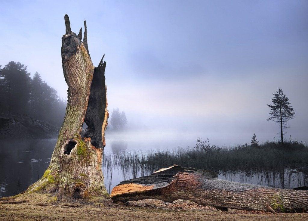 an oak tree hit by lightning