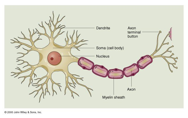 Nerve-Cell1
