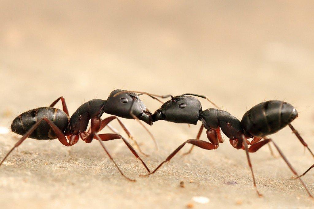 trophyllaxis ants