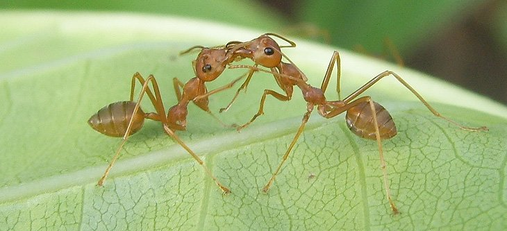 trophyllaxis in ants
