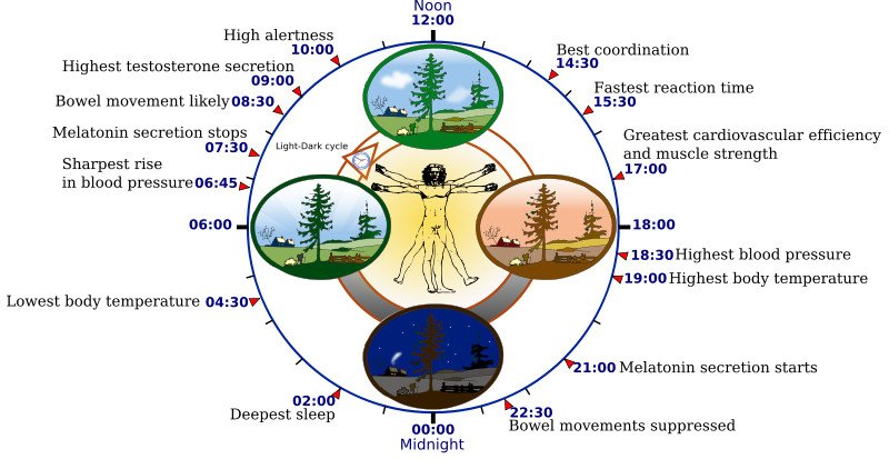 800px-Biological_clock_human1