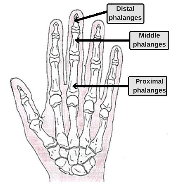 bones in the fingers