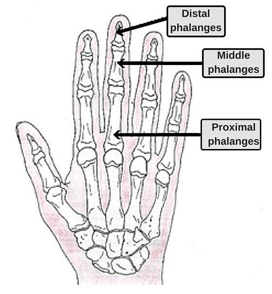 bones in the fingers