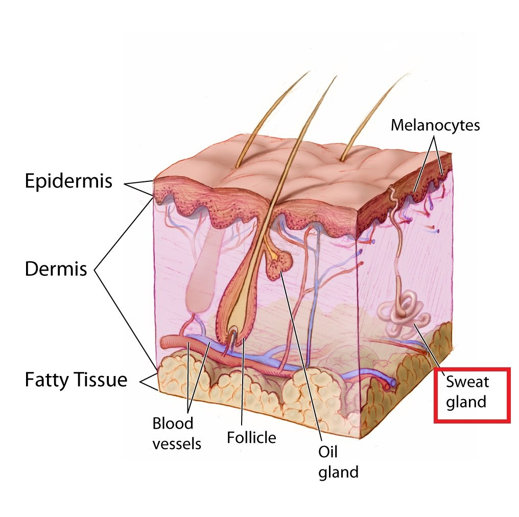 skin sweat gland