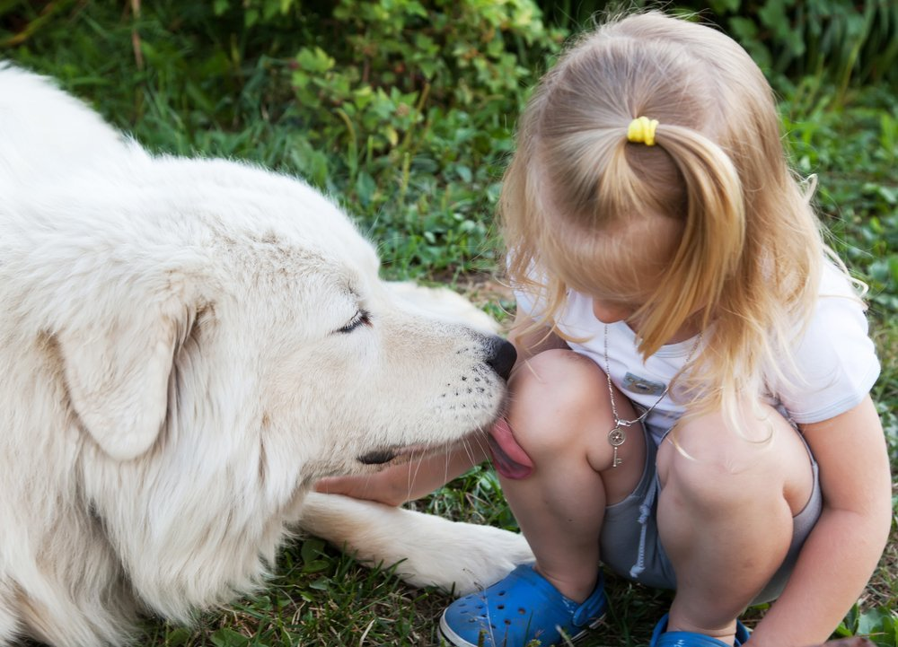 Large white Shepherd licking a wound on the knee of a little girl, selective focus animals