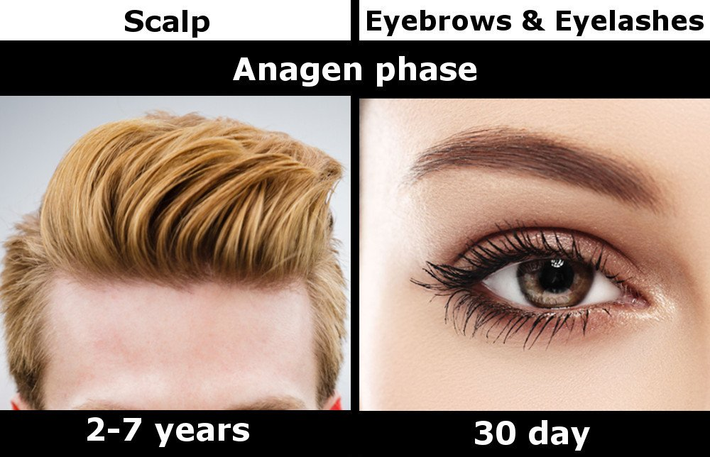 Scalp eyebrow eyelash anagen phase