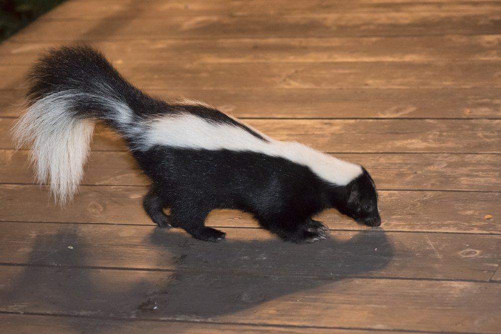 a skunk