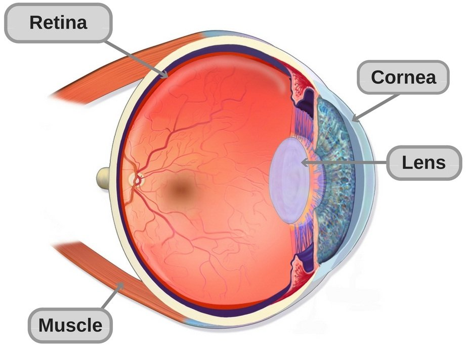 Anatomy-of-the-human eye structure