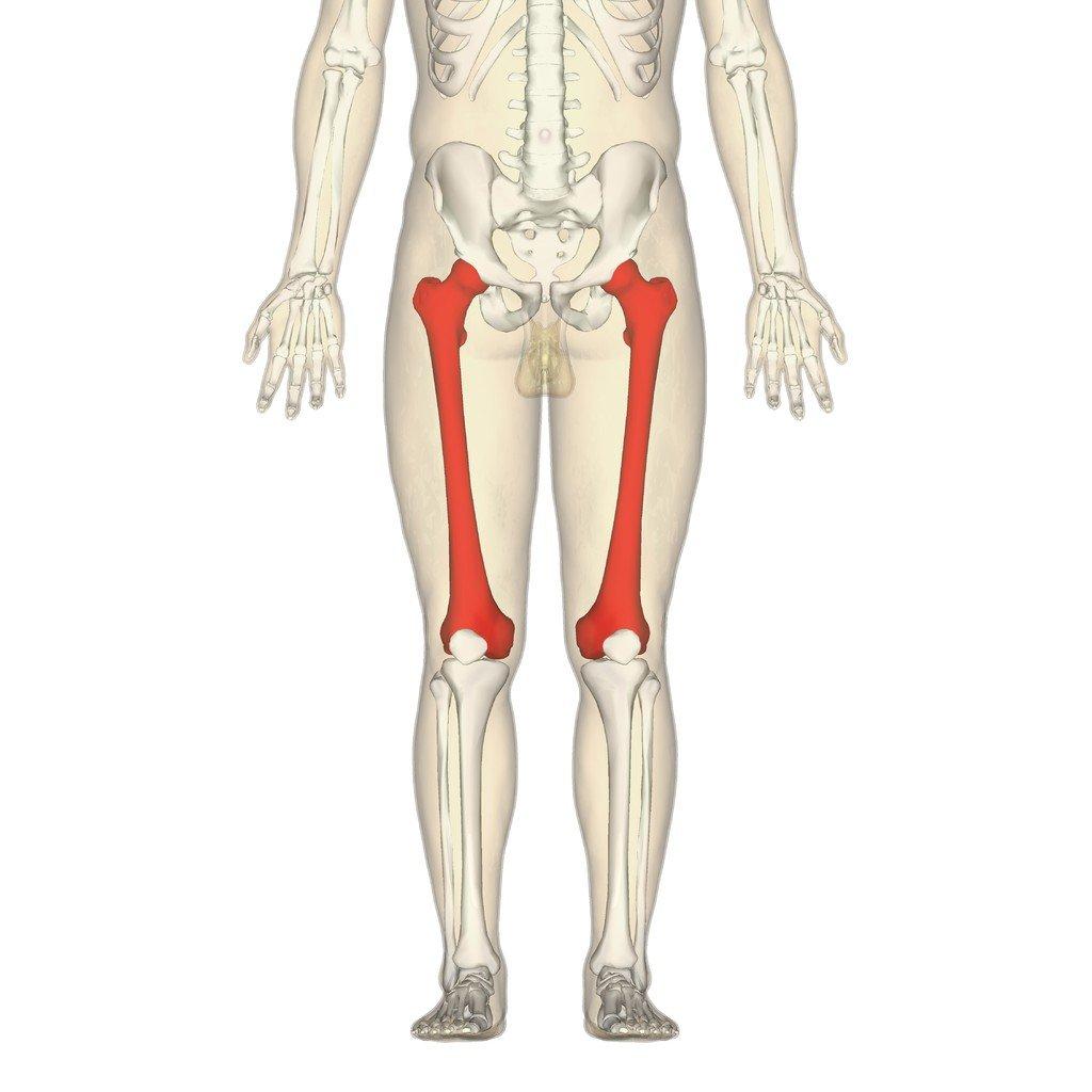 femur-bone