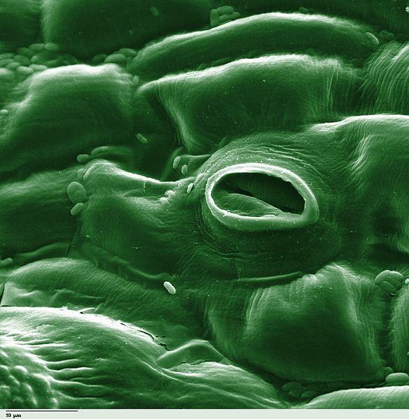 leaf-stoma