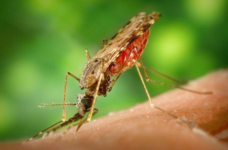 Anopheles albimanus, the malaria mosquito.
