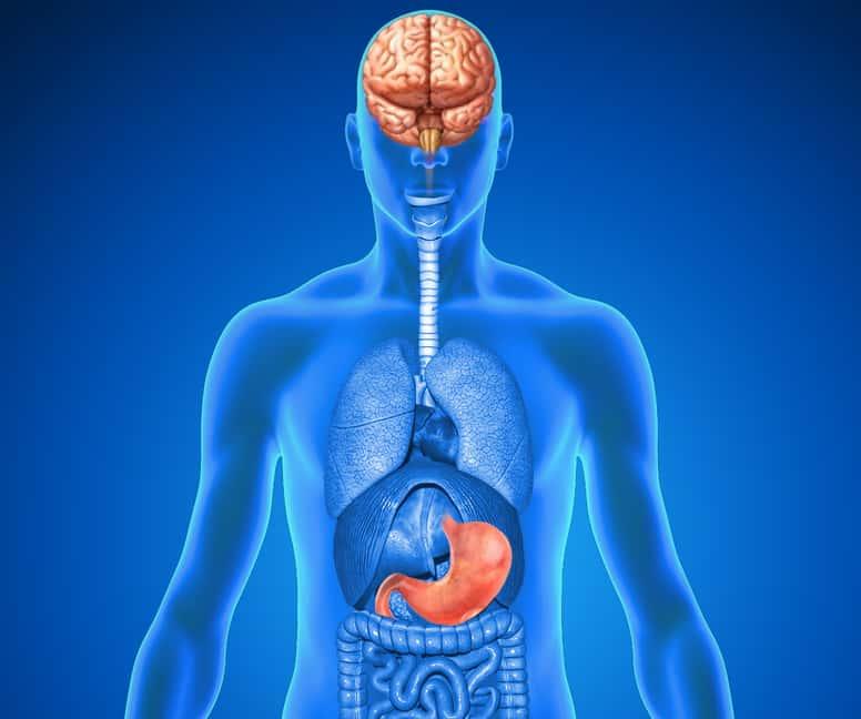 Human Organs Brain & stomach