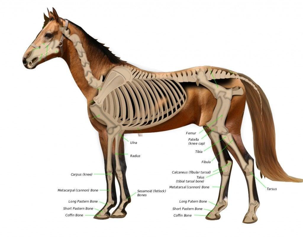 horse anatomy