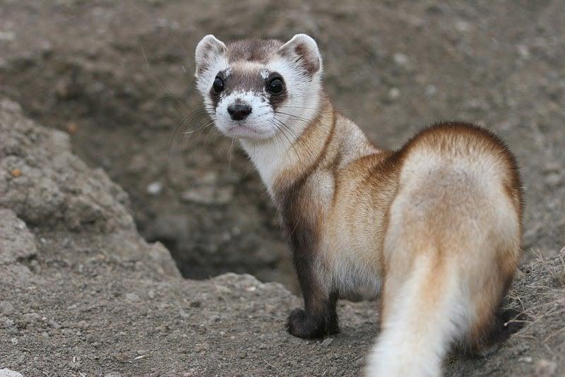 Weasel habitat